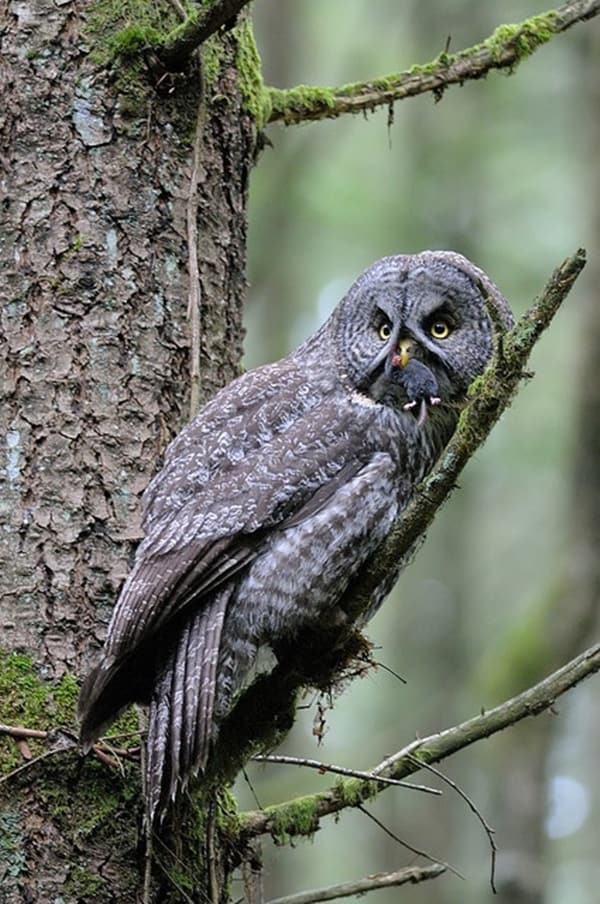 owl pictures (17)