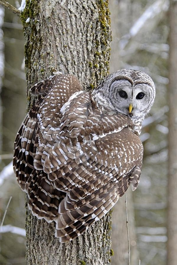 owl pictures (18)