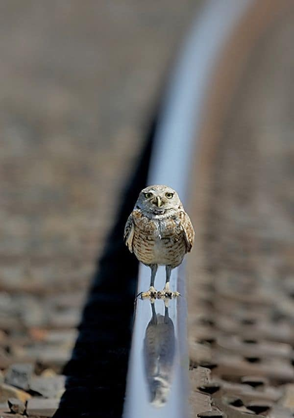 owl pictures (19)
