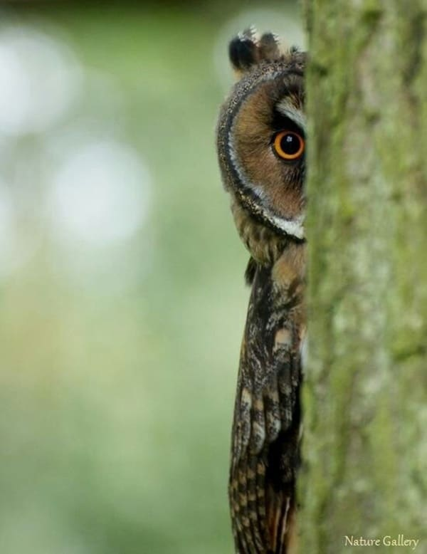 owl pictures (2)