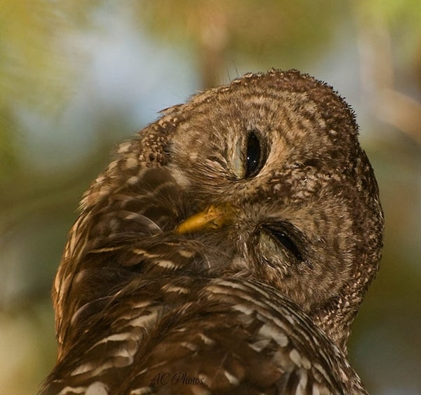 owl pictures (21)