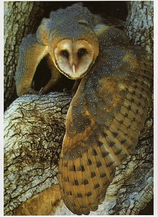 owl pictures (23)