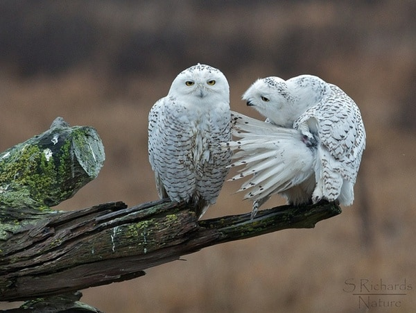 owl pictures (24)
