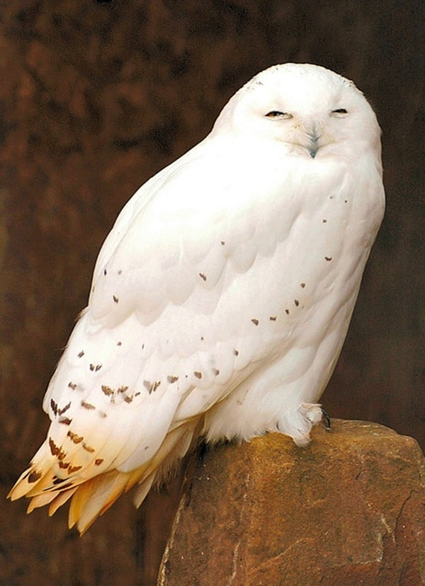 owl pictures (25)