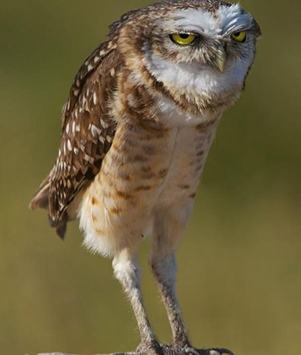 owl pictures (26)