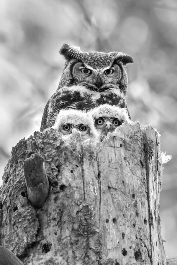 owl pictures (27)