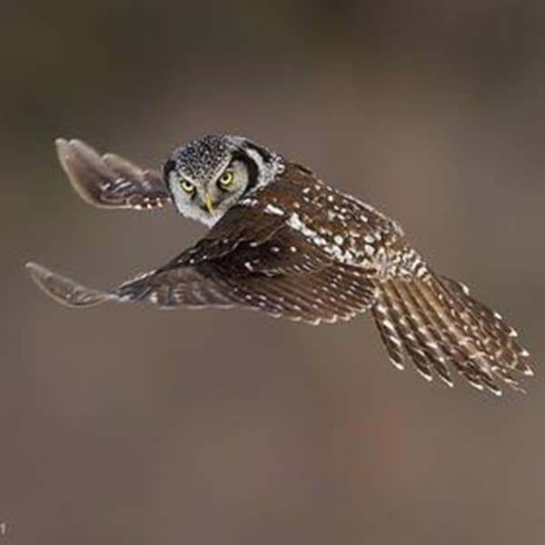owl pictures (28)