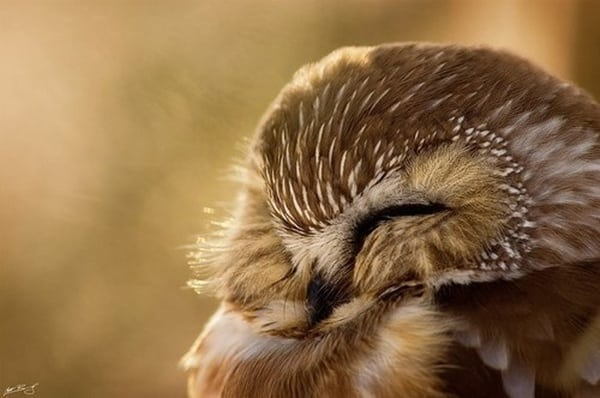 owl pictures (29)
