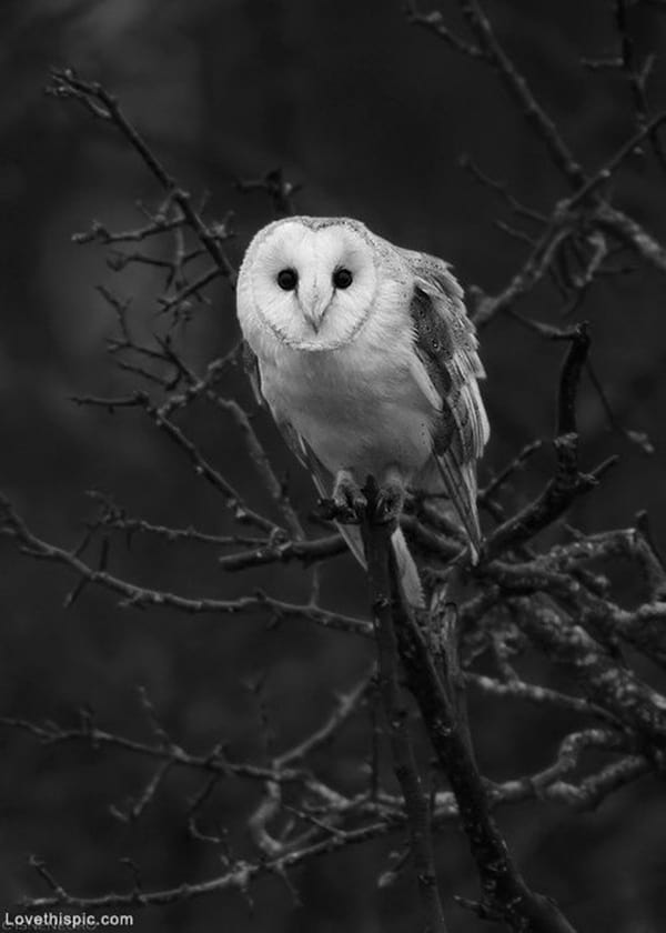owl pictures (30)