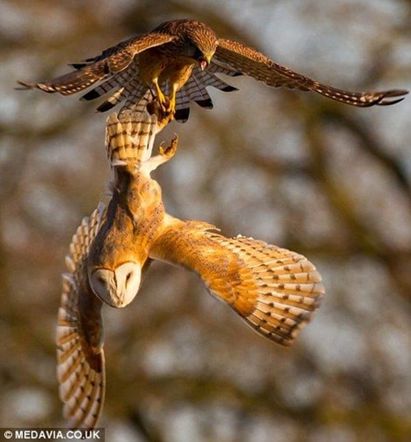 owl pictures (31)