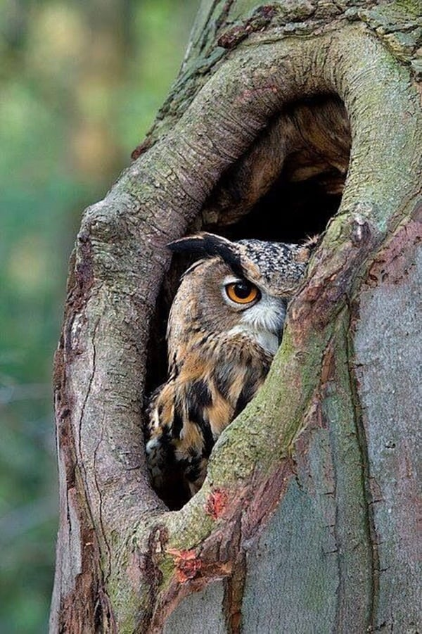 owl pictures (34)