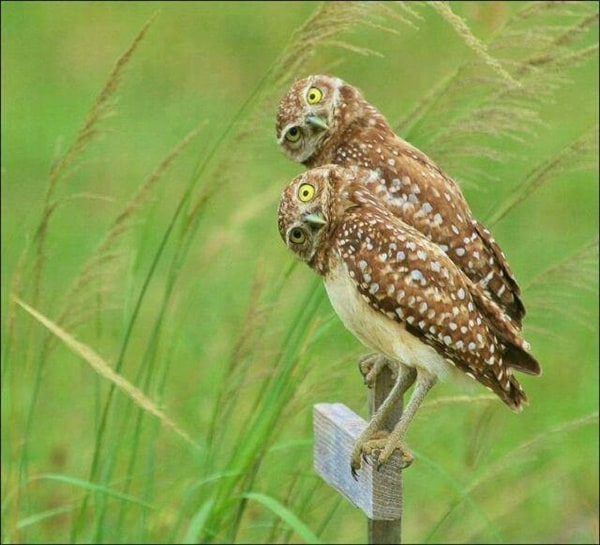 owl pictures (36)