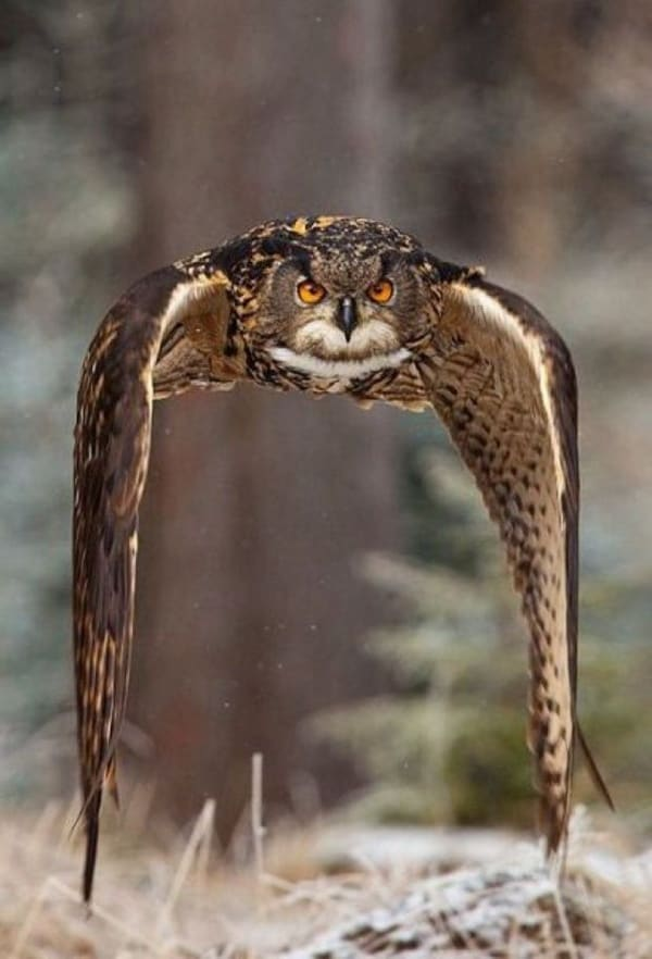 owl pictures (37)
