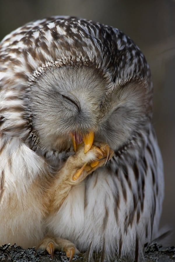 owl pictures (39)