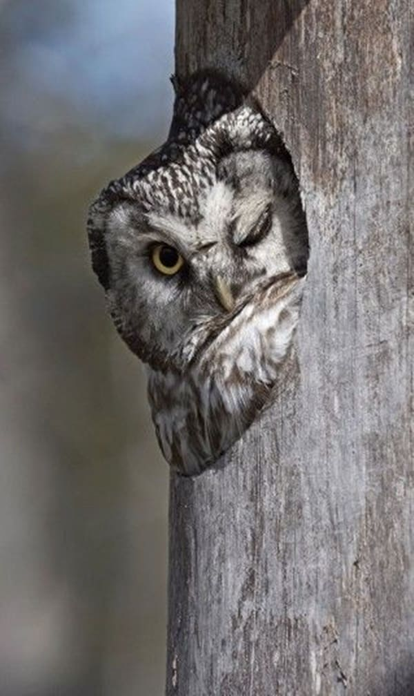 owl pictures (40)