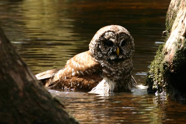 owl pictures (47)