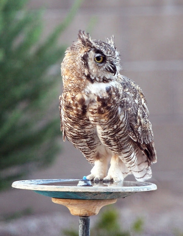owl pictures (48)