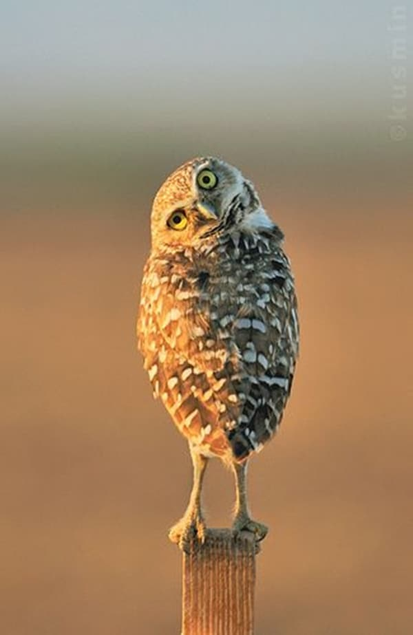 owl pictures (5)