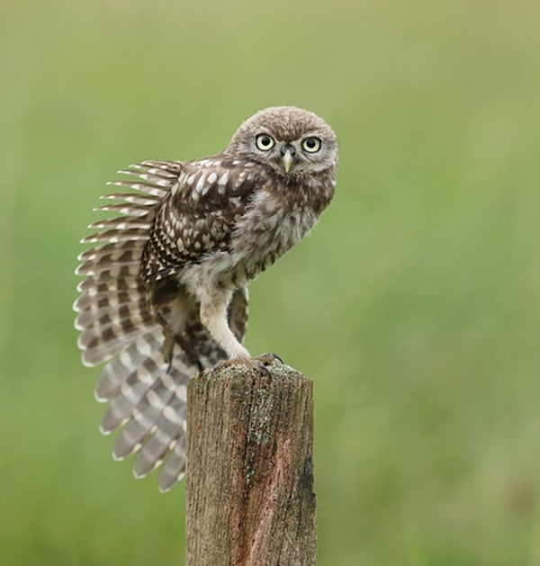 owl pictures (52)