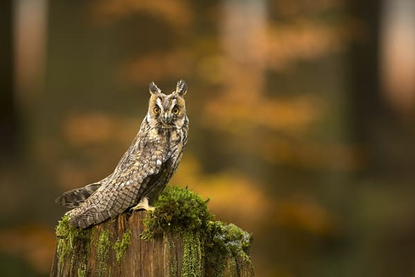 owl pictures (53)