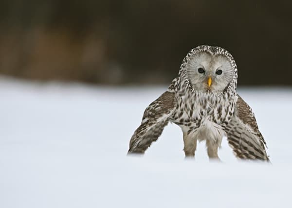 owl pictures (54)