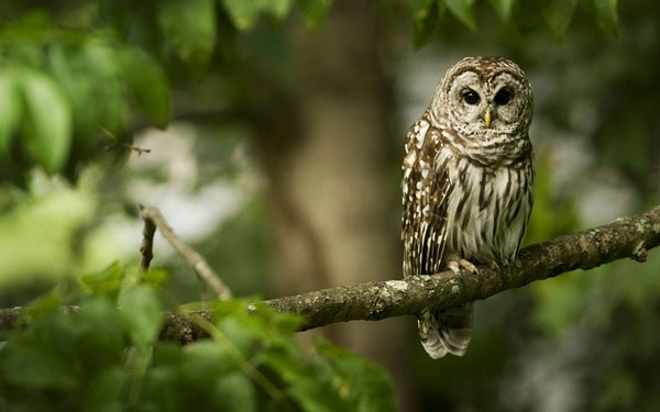 owl pictures (56)