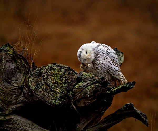 owl pictures (57)