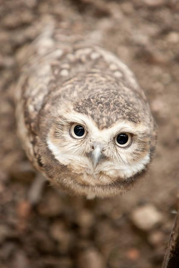 owl pictures (6)