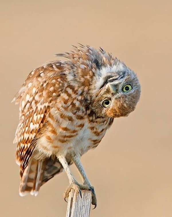 owl pictures (7)