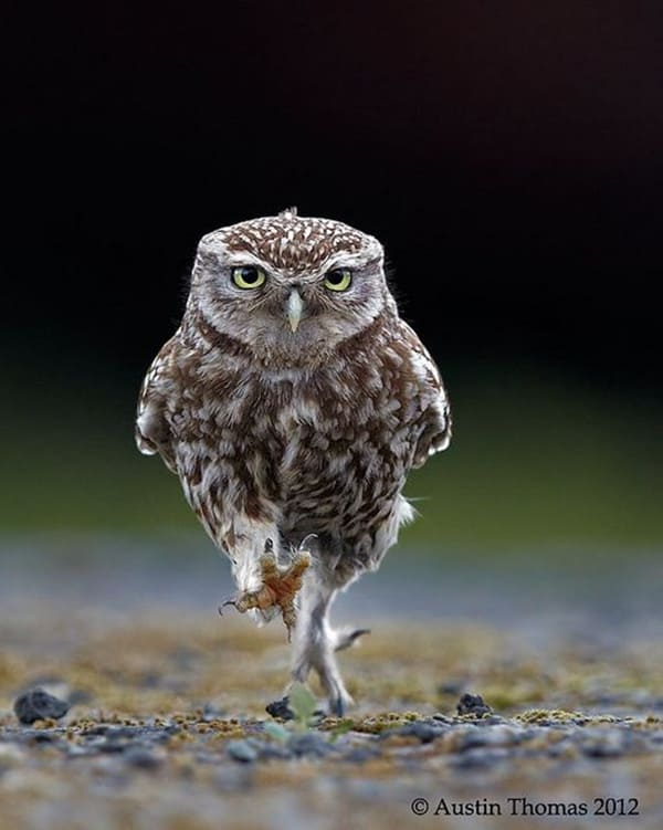 owl pictures (8)