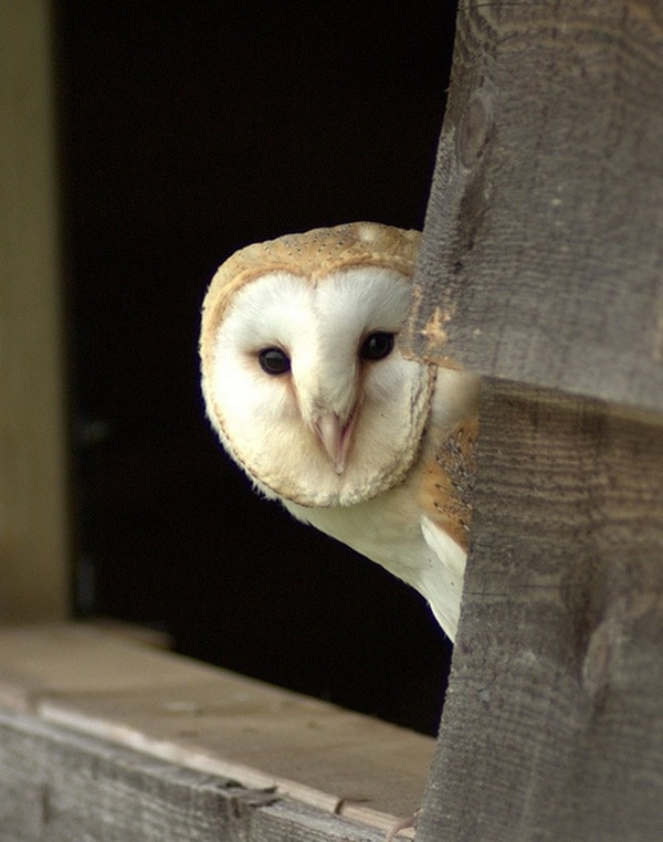 owl pictures (9)