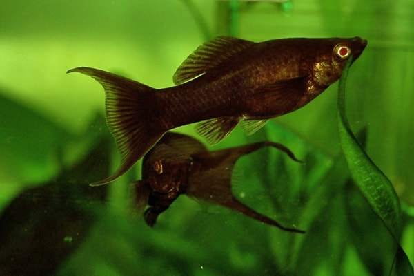 Aquarium Algae Eaters (3)