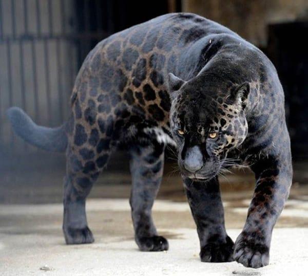 Beautiful Black Aniamls (21)