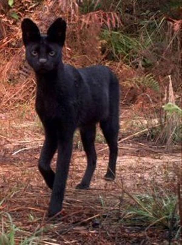 Beautiful Black  Aniamls (39)