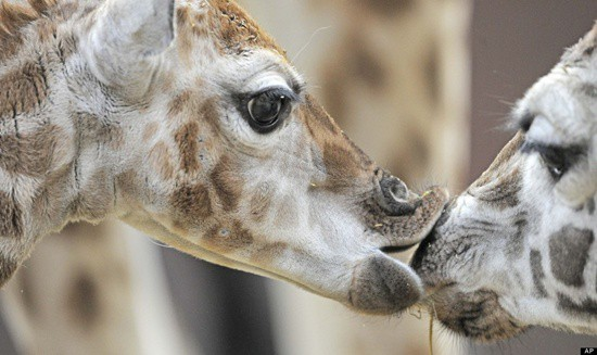 40 Amazing Pictures Of Animals Kissing Each Other