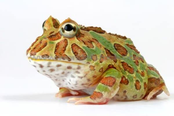 Different type of frogs (6)