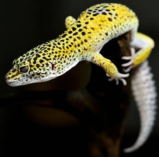 Different types of gecko (1)