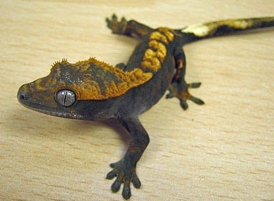 Different types of gecko (12)