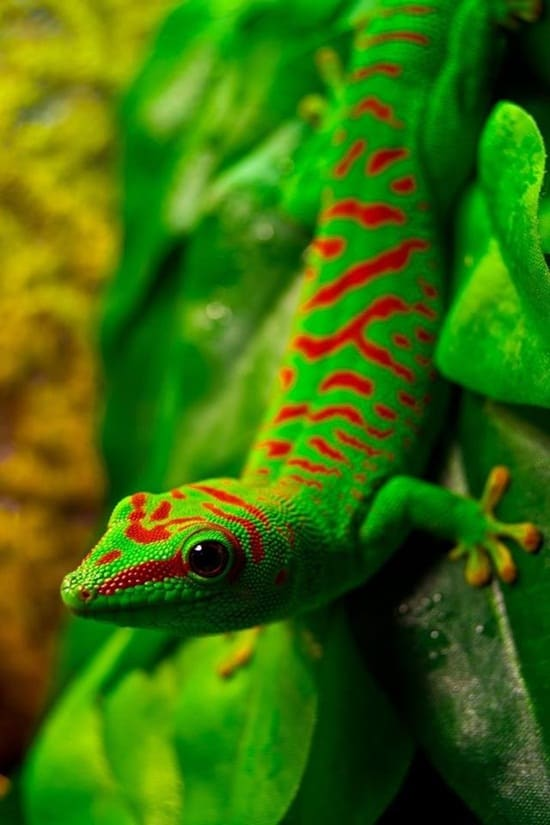 Different types of gecko (14)