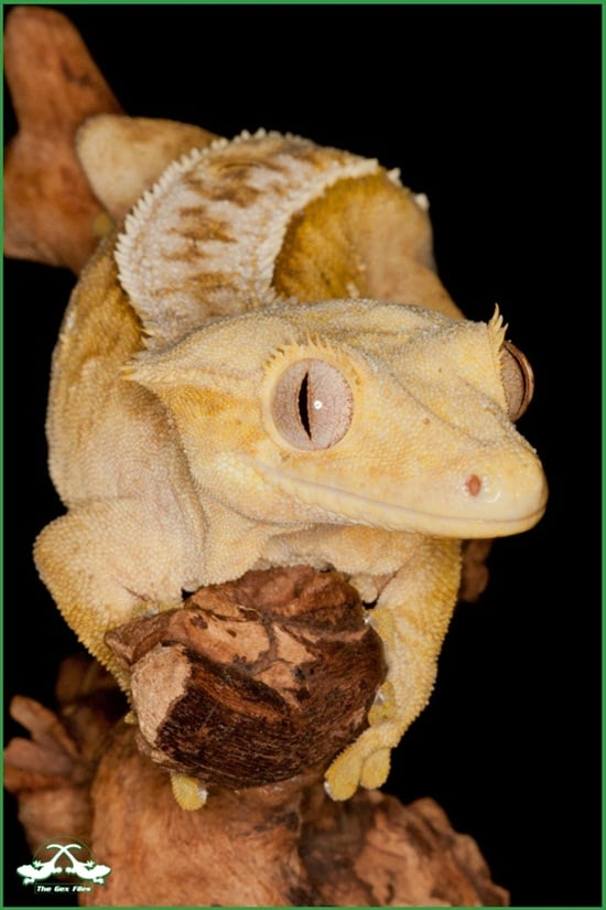 Different types of gecko (17)