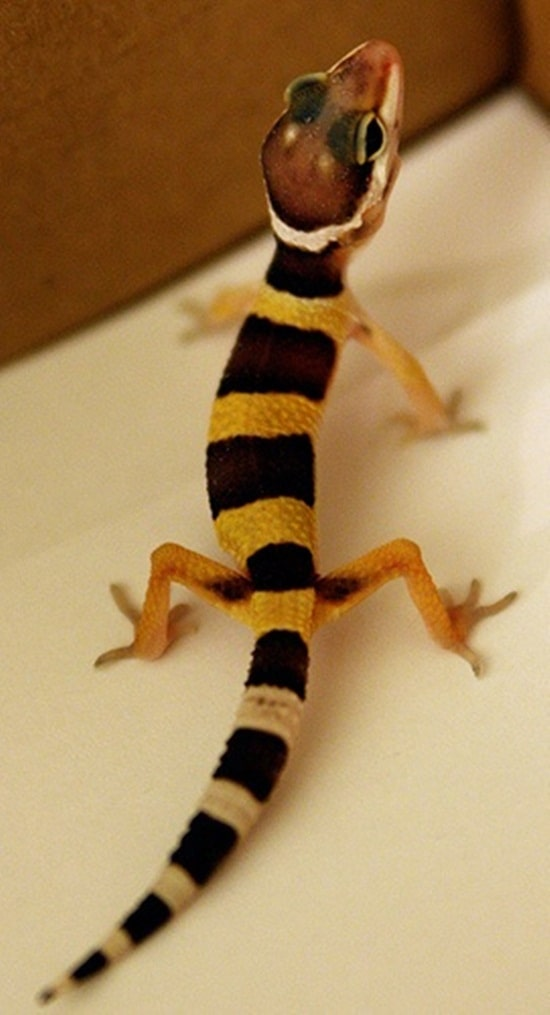 Different types of gecko (4)