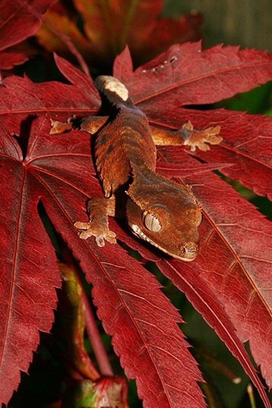 Different types of gecko (6)
