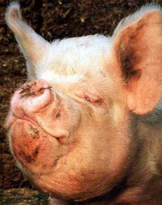 Funny Pigs Pictures (10)