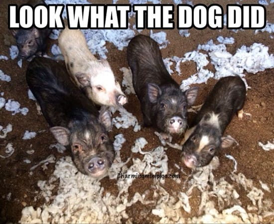 Funny Pigs Pictures (15)