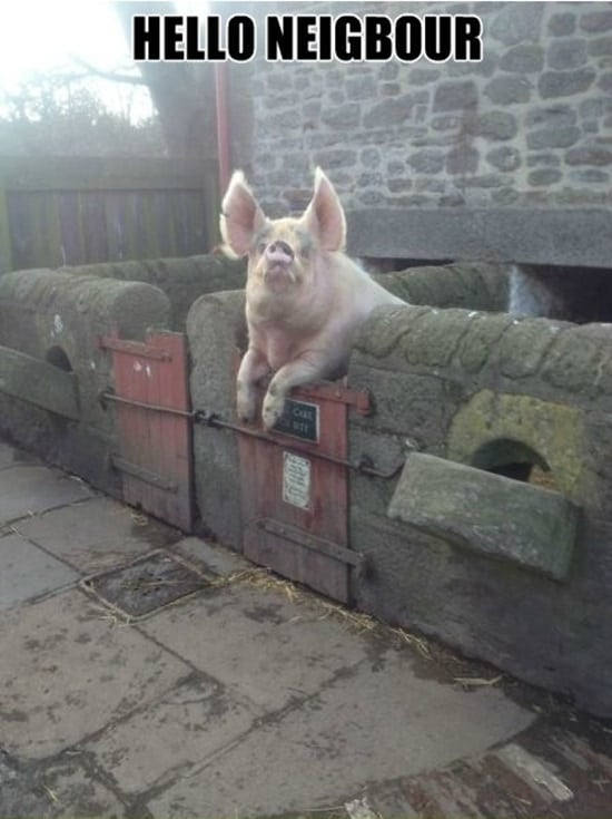 Funny Pigs Pictures (23)