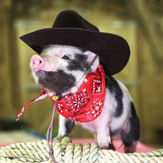 Funny Pigs Pictures (24)