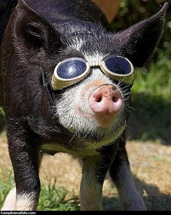 Funny Pigs Pictures (3)
