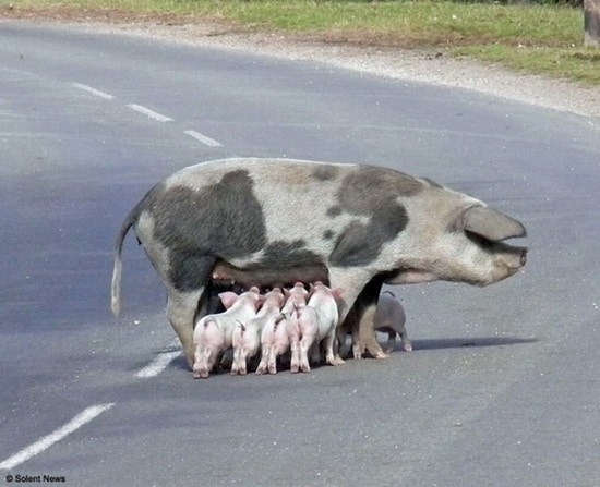 Funny Pigs Pictures (4)