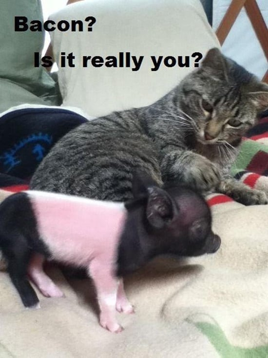 Funny Pigs Pictures (6)