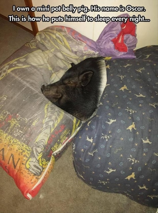 Funny Pigs Pictures (7)